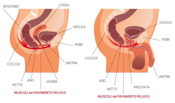 Muscoli del pavimento pervico | NUBRA Medica